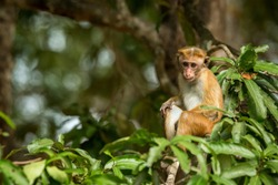 Toque macaque (Macaca sinica) monkeys are a group of Old World monkeys native to the Indian subcontinent, monkey sitting on tree,  Wilpattu National Park, Sri Lanka, exotic adventure in Asia