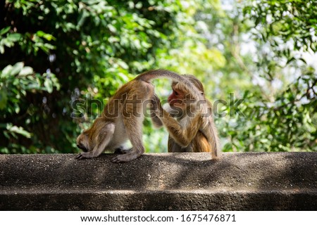Toque macaque type of monkey found in Sri Lanka. Monkey sitting and sleeping on the wall. Monkeys taking care of each other. Monkeys cleaning each other.