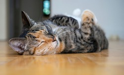 Torbie cat lying on its back and sleeping on the floor of an empty Brooklyn apartment