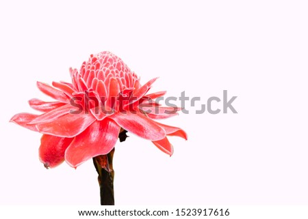 Torch Ginger isolated on white background with clipping path, the Petals or Flower bud of this flower for Thai Southern traditional cooking especially Spicy Rice Salad with Vegetables, Sour taste,