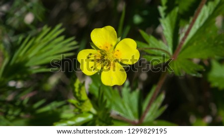 Tormentil or septfoil Potentilla erecta flower macro, selective focus, shallow DOF #1299829195
