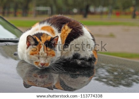 Tortie cat with red markings on the muzzle sleeps reflected in the hood of car