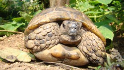 Tortoise ; Close up. Tortoise hiding in shell in nature, Turtle. Turtle looking forward. A Tortoise walking on soil land, turtle. Reptiles, Reptile, animal, animals, pet, pets, wildlife, forest, woods