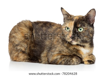 Tortoise-colored cat lying on a white background