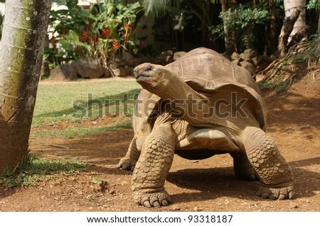 Tortoise from Mauritius