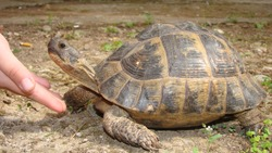 tortoise hand caressing a tortoise's head Greek tortoise close up of tortoise   closeup turtle tortoise in nature - turtle reptiles, reptile, animals, animal, pets, pet, wildlife, wild nature, forest