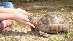 tortoise hand caressing a tortoise's head Greek tortoise close up of tortoise   closeup turtle tortoise in nature - turtle reptiles, reptile, animals, animal, pets, pet, wildlife, wild nature, forest,