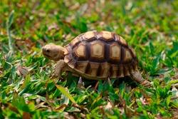 Tortoise in the green grass; baby turtle (Testudo hermanni)walking on grass.