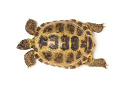 Tortoise Isolated on White