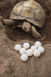 Tortoise Nesting and Egg Laying, Female tortoise laying eggs (Africa spurred tortoise)