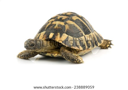 Tortoise on white