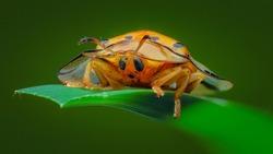 Tortoise Shell Beetle,Golden Tortoise Beetle