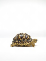 Tortoise: Star Indian, Leopard, Yellow-footed