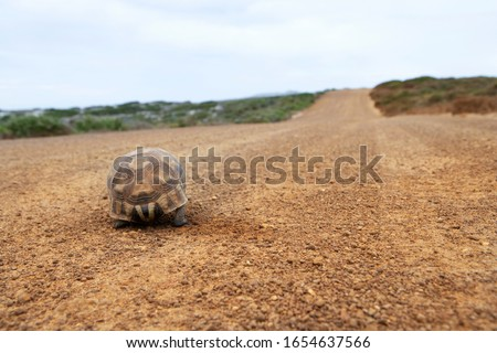 Tortoise walking along dirt road, rear view