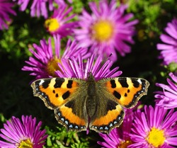 Tortoiseshell Butterfly on the purple Asters