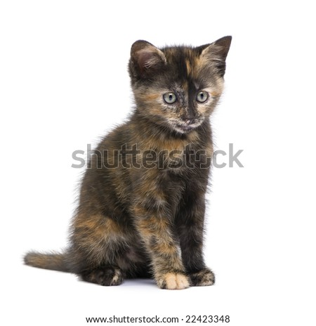 Tortoiseshell cat (2 months) in front of a white background