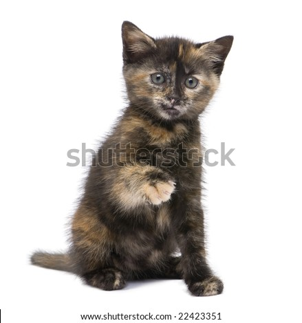 Tortoiseshell cat (2 months) in front of a white background - stock photo