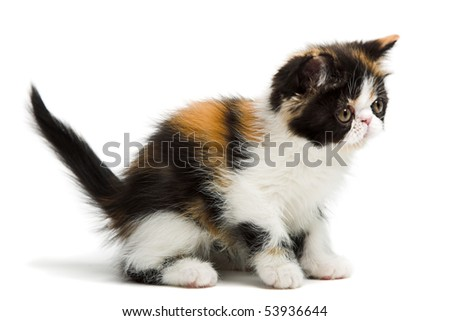 Tortoiseshell persian kitten isolated on white background