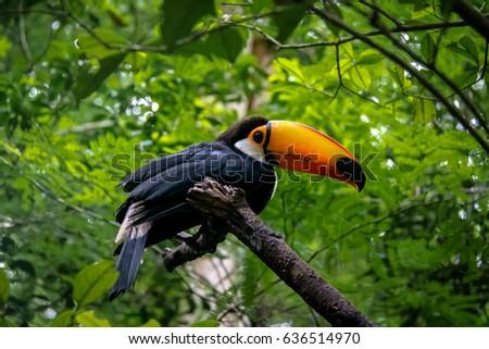 Shutterstock Toucan at Parque das Aves - Foz do Iguacu, Parana, Brazil