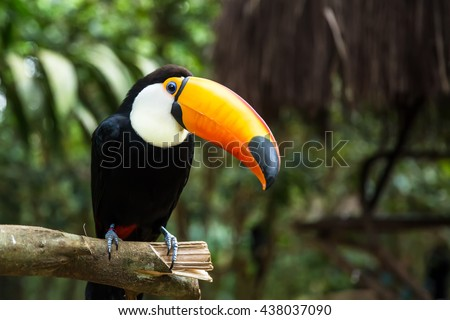 Toucan bird on the nature in Foz do Iguazu, Brazil