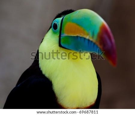 toucan closeup