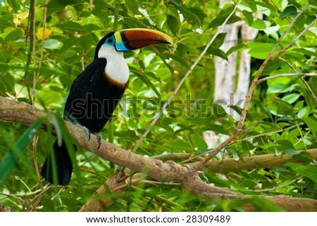 Toucan on branches - stock photo