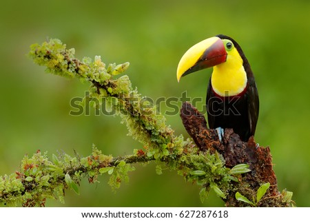 Toucan on nice mossy branch in tropical jungle in Costa Rica. Tropical bird with big colorful bill.