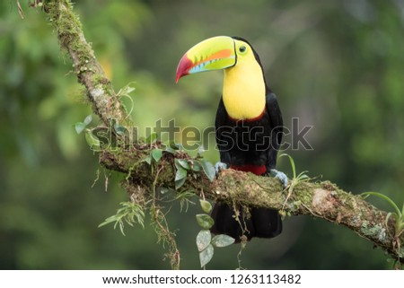 Toucan Ramphastos sulfuratus sitting on a branch