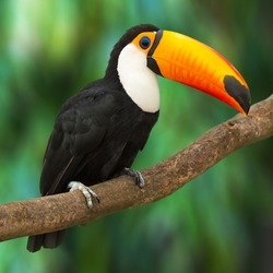 Toucan (Ramphastos toco) sitting on tree branch in tropical forest or jungle