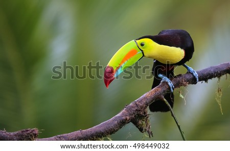 Toucan sitting on a branch looking down