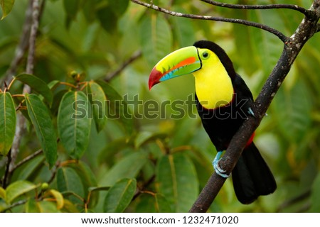Toucan sitting on the branch in the forest, green vegetation, Costa Rica. Nature travel in central America. Keel-billed Toucan, Ramphastos sulfuratus, bird with big bill. Wildlife in Central America.