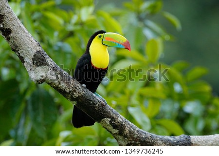 Toucan sitting on the branch in the forest, green vegetation, Guatemala. Nature travel in central America. Two Keel-billed Toucan, Ramphastos sulfuratus, pair of bird with big bill. Wildlife.