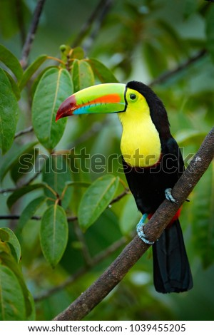 Toucan sitting on the branch in the forest, green vegetation. Nature travel holiday in central America. Keel-billed Toucan, Ramphastos sulfuratus. Wildlife from Nicaragua.