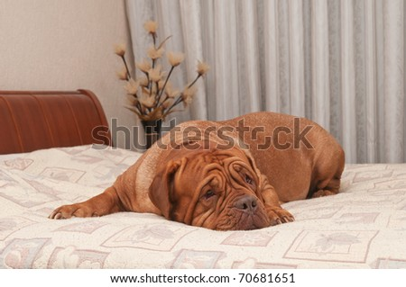 Touching dog of French Mastiff breed is missing her master lying on his bed
