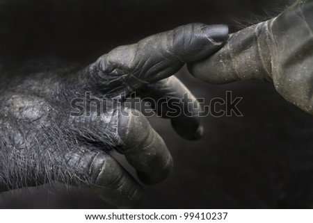 Touching fingers of a gorilla - stock photo