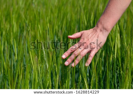 Touching the green shoots of unripe cereal crops on the field in the summer. farmer touches wheat sprouts in a field