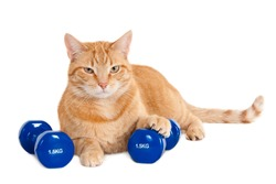 Tough looking ginger cat with two dumbbells of 1.5 kg, isolated on a white background