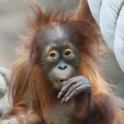 Tough thoughts of an orangutan baby. Wild beauty of young monkey. Cute face and excellent paw of a great ape cub