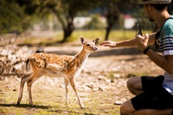 Tourist man in forest zoo touches cute sika baby deer