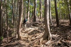 Tourist walking the Kumano Kodo trail with tree roots covering the track surface. Kumano Kodo is a series of ancient pilgrimage routes that crisscross the Kii Hanto, the largest peninsula of Japan