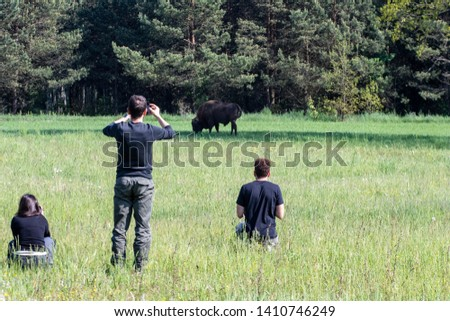 Tourists on a tour photograph a bison in the morning with the fog in the meadow of the primeval bialowieza forest. Ecouturism for naturalistic photography and sighting of wildlife