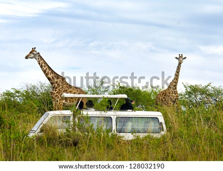 Tourists on safari take pictures of giraffes in Masai Mara National Park - Kenya
