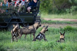 Tourists watching a pack of Wilddogs on a safari in South Africa