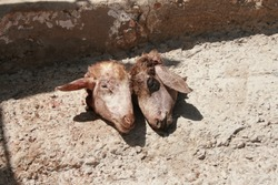 tow heads of sheep in a local market in Morocco