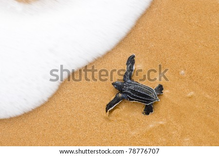 Toward the ocean. Newly hatched baby turtles in a hurry in the watery element