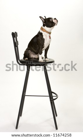 Toy Boston Terrier sitting on black stool, looking upward, isolated on white.