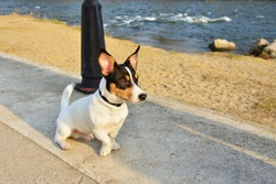 Toy fox terrier dog sitting on the promenade near the river at sunset.