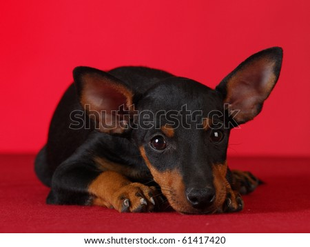 toy manchester terrier puppy laying down on red blanket with red background