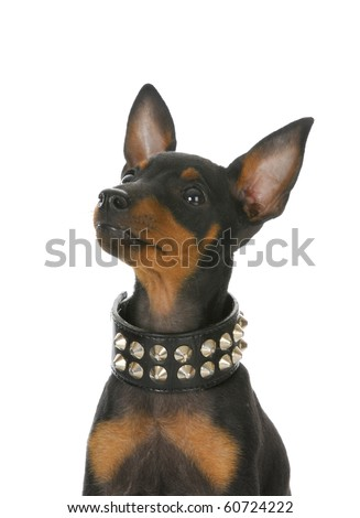 toy manchester terrier puppy wearing leather stud collar on white background