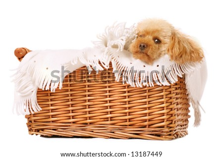toy poodle being pampered in a basket with cosy blanket